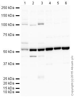 Western blot - Goat Anti-Rat IgG H&L (HRP) (ab205720)