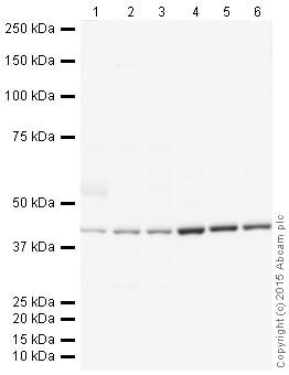 Western blot - Donkey Anti-Goat IgG H&L (HRP) (ab205723)