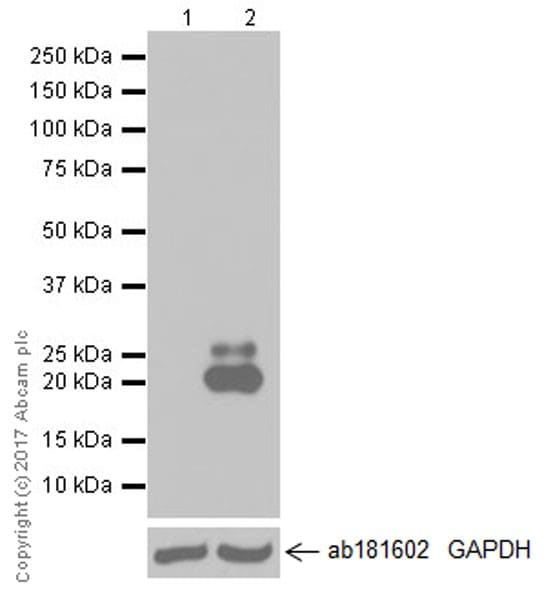 Western blot - Anti-IL-6 antibody [EPR20653] (ab214429)