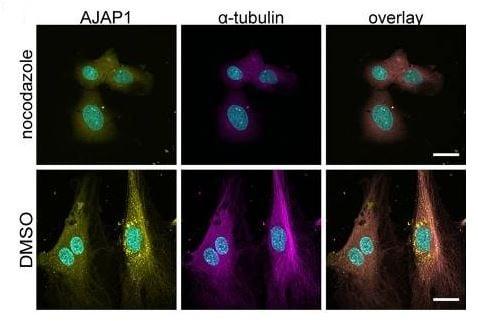 Immunocytochemistry/ Immunofluorescence - Anti-alpha Tubulin antibody [EP1332Y] - BSA and Azide free (ab216650)