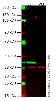 Western blot - Goat Anti-Rabbit IgG H&L (IRDye® 680RD) preadsorbed (ab216777)