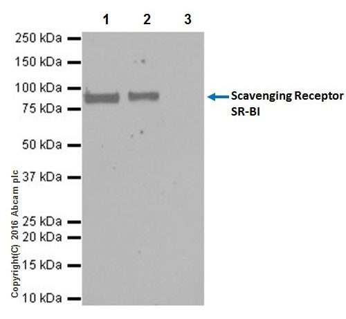 Immunoprecipitation - Anti-Scavenging Receptor SR-BI antibody [EPR20190] (ab217318)