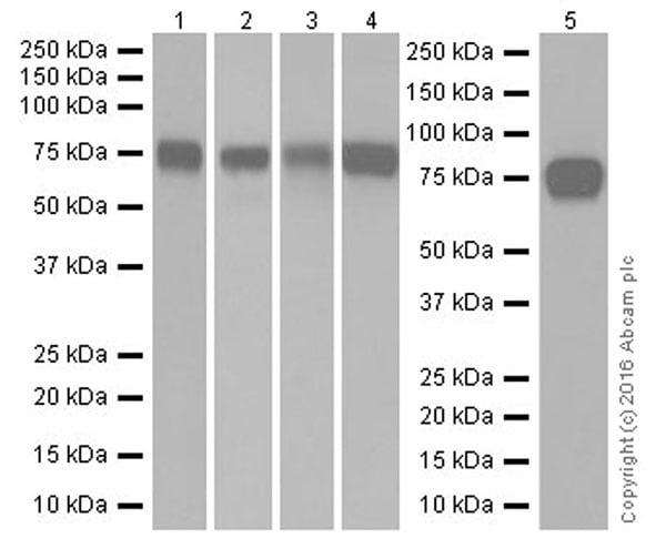 Western blot - Anti-Scavenging Receptor SR-BI antibody [EPR20190] (ab217318)