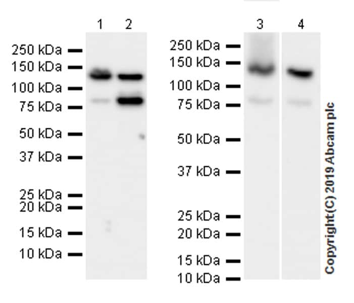 Western blot - Anti-Rad21 antibody [EPR22506-15] (ab217678)