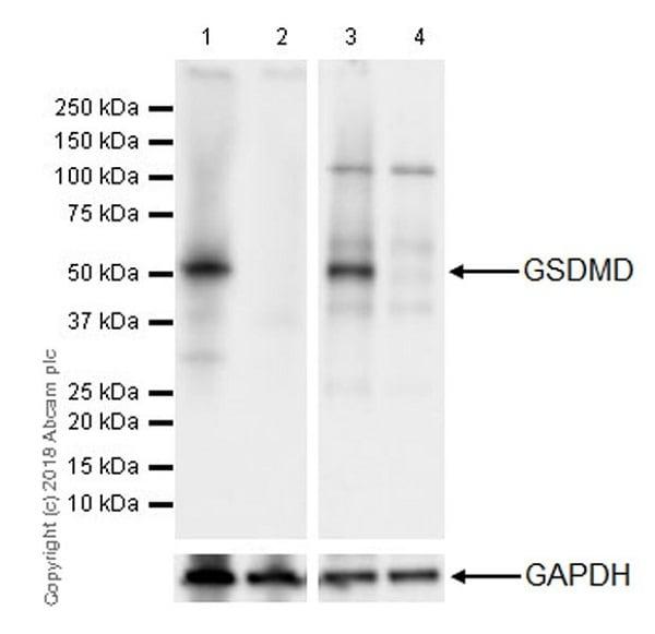 Western blot - Anti-GSDMD antibody [EPR20859] (ab219800)