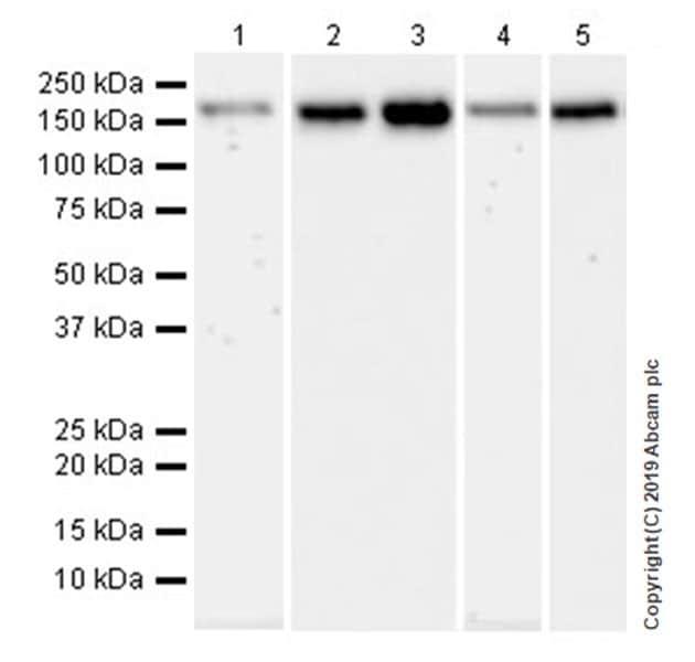 Western blot - Anti-YTHDC2 antibody [EPR21820-49] (ab220160)