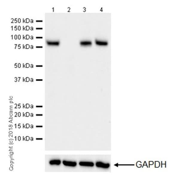 Western blot - Anti-CPT1A antibody [EPR21843-71-1C] (ab220789)
