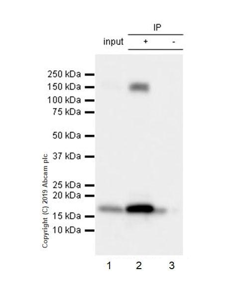 Immunoprecipitation - Anti-Integrin alpha 5 antibody [EPR7854] - Low endotoxin, Azide free (ab221606)