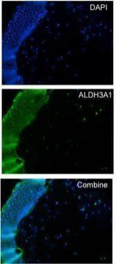 Immunohistochemistry (Frozen sections) - Anti-ALDH3A1 antibody (ab227447)