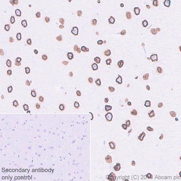 Immunohistochemistry (Formalin/PFA-fixed paraffin-embedded sections) - Anti-Lamin B1 antibody [EPR22165-121] (ab229025)