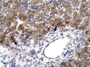 Immunohistochemistry (Formalin/PFA-fixed paraffin-embedded sections) - Anti-MOX1 antibody (ab23279)
