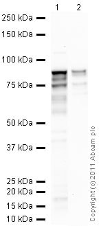 Western blot - Anti-TBR2 / Eomes antibody - ChIP Grade (ab23345)