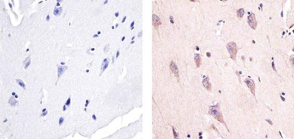 Immunohistochemistry (Formalin/PFA-fixed paraffin-embedded sections) - Anti-AMPK alpha 1 (phospho T183) + AMPK alpha 2 (phospho T172) antibody (ab23875)