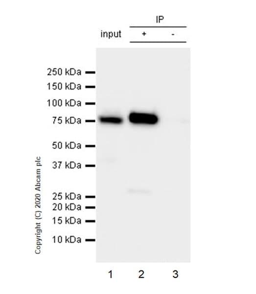 Immunoprecipitation - Anti-Cytoplasmic Dynein Intermediate chain antibody [74.1] (ab23905)