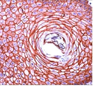 Immunohistochemistry (Formalin/PFA-fixed paraffin-embedded sections) - Anti-pan Cadherin antibody (ab230459)