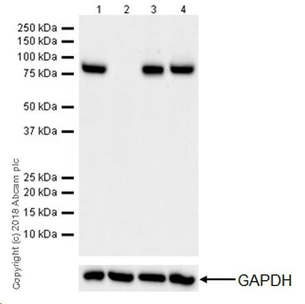 Western blot - Anti-CPT1A antibody [EPR21843-71-2F] (ab234111)