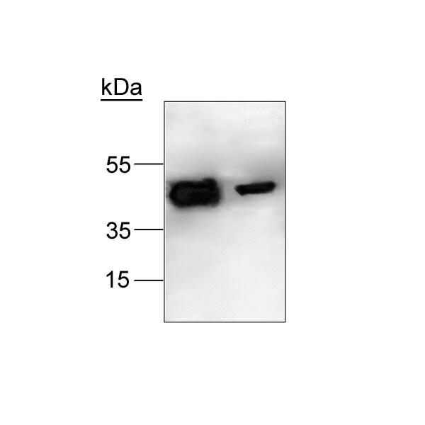 Western blot - Anti-LXR alpha + LXR beta antibody (ab24532)