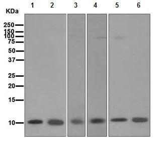 Western blot - Anti-S100 alpha antibody [EPR5251] - BSA and Azide free (ab247841)