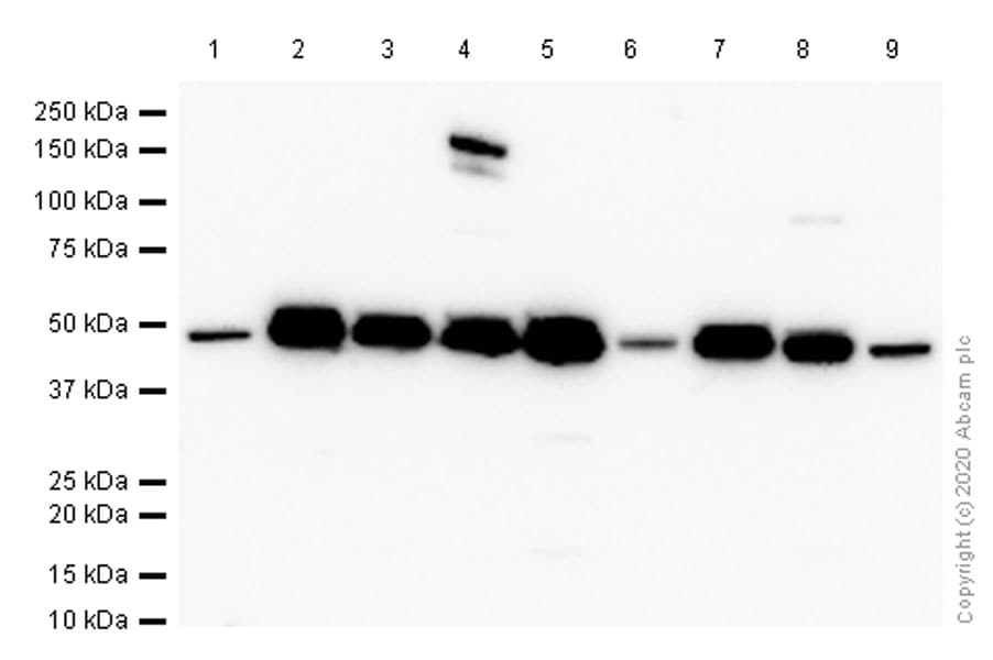 Western blot - Anti-Cdc37 antibody [EPR4934] - BSA and Azide free (ab247853)
