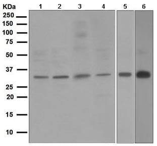 Western blot - Anti-NEK7 antibody [EPR4901] - BSA and Azide free (ab247860)