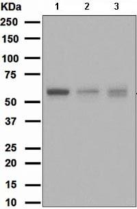 Western blot - Anti-ATG12 antibody [EPR4800] - BSA and Azide free (ab247876)