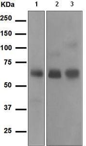 Western blot - Anti-Cortisol Binding Globulin antibody [EPR4615] - BSA and Azide free (ab247930)