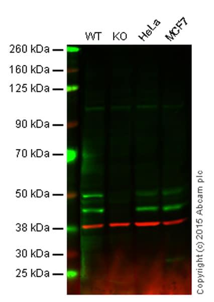Western blot - Anti-JNK1 antibody [EPR140(2)] - BSA and Azide free (ab247935)