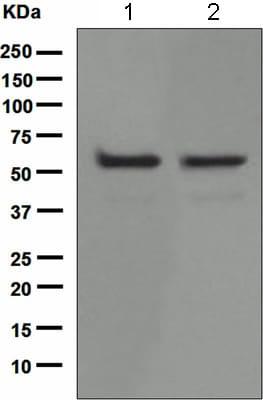 Western blot - Anti-p60 katanin antibody [EPR5071] - BSA and Azide free (ab247943)