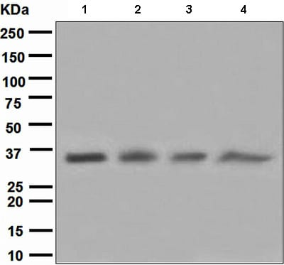 Western blot - Anti-Cyclin H/p34 antibody [EPR3928] - BSA and Azide free (ab247945)