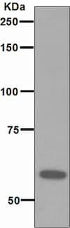 Western blot - Anti-RNF36 antibody [EPR4755] - BSA and Azide free (ab247946)