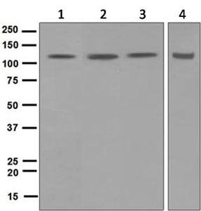 Western blot - Anti-DDB1 antibody [EPR6088] - BSA and Azide free (ab247954)