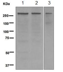 Western blot - Anti-CENPE antibody [EPR4543(2)] - BSA and Azide free (ab247987)