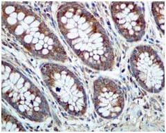 Immunohistochemistry (Formalin/PFA-fixed paraffin-embedded sections) - Anti-Phospholipase C beta 3/PLCB3 antibody [EPR5951] - BSA and Azide free (ab247988)