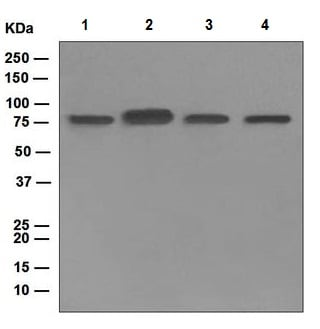Western blot - Anti-IKKi/IKKe antibody [EPR4904] - BSA and Azide free (ab247993)