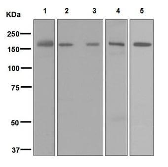 Western blot - Anti-Factor H antibody [EPR6226] - BSA and Azide free (ab247995)