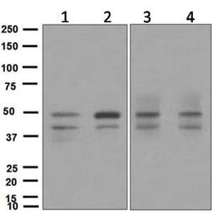 Western blot - Anti-SKP2 antibody [EPR3306(2)] - BSA and Azide free (ab248010)