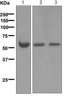Western blot - Anti-Antithrombin III/ATIII antibody [EPR5371] - BSA and Azide free (ab248012)