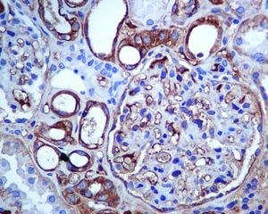 Immunohistochemistry (Formalin/PFA-fixed paraffin-embedded sections) - Anti-SLC22A3/OCT3 antibody [EPR6630] - BSA and Azide free (ab248023)