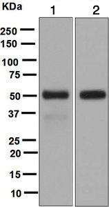 Western blot - Anti-LIPF antibody [EPR5711(B)] - BSA and Azide free (ab248025)