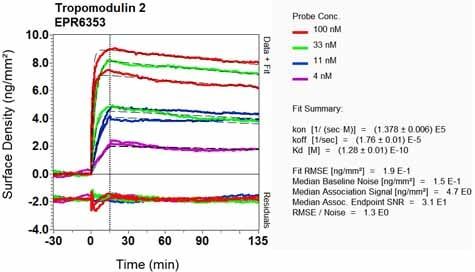 Other - Anti-Tropomodulin 2 antibody [EPR6353] - BSA and Azide free (ab248026)