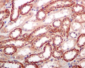 Immunohistochemistry (Formalin/PFA-fixed paraffin-embedded sections) - Anti-SPTBN1 antibody [EPR5869] - BSA and Azide free (ab248042)