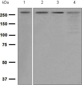 Western blot - Anti-SPTBN1 antibody [EPR5869] - BSA and Azide free (ab248042)