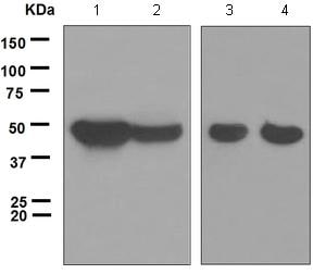 Western blot - Anti-p39 antibody [EPR5074] - BSA and Azide free (ab248047)