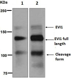 Western blot - Anti-EVI1 antibody [EPR5996] - BSA and Azide free (ab248063)