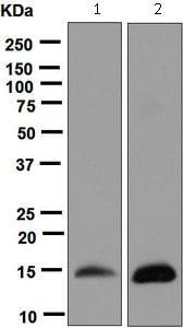 Western blot - Anti-H-FABP antibody [EPR6127] - BSA and Azide free (ab248085)