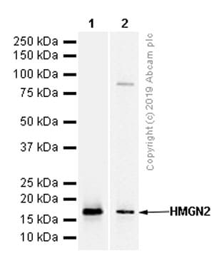 Western blot - Anti-HMGN2 antibody [EPR7091] - BSA and Azide free (ab248090)