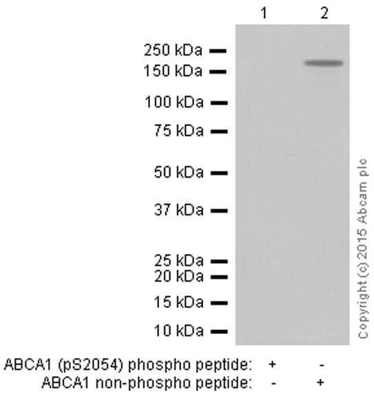 Western blot - Anti-ABCA1 (phospho S2054) antibody [EPR2485] - BSA and Azide free (ab248108)