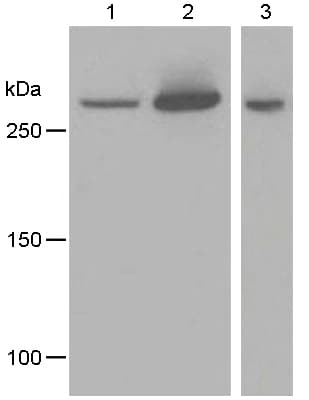Western blot - Anti-IP3 receptor antibody [EPR4536] - BSA and Azide free (ab248112)