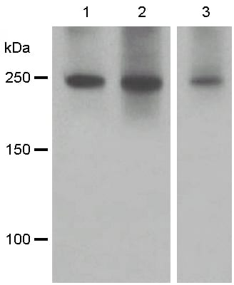Western blot - Anti-SCRIBBLE antibody [EPR4140(2)] - BSA and Azide free (ab248114)