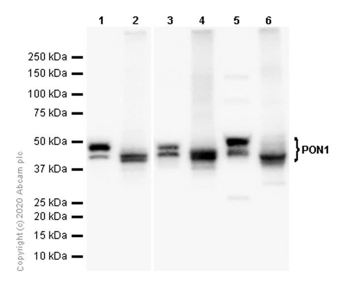 Western blot - Anti-PON1 antibody [EPR2893] - BSA and Azide free (ab248121)